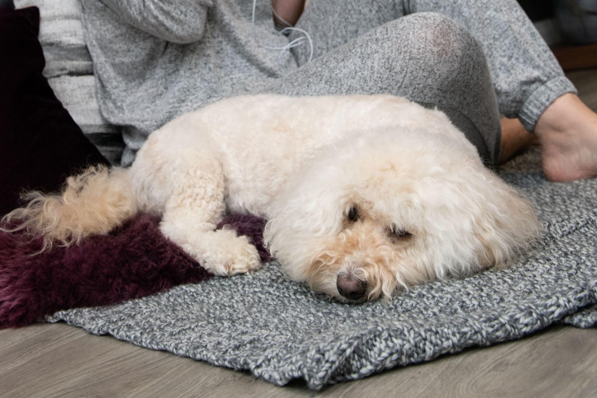 Bichonpoo lying on a rug